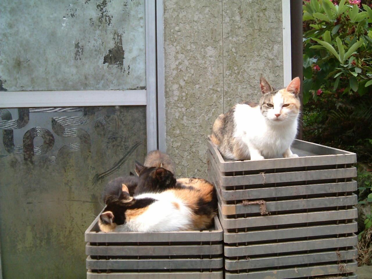 苗箱と猫 みけ