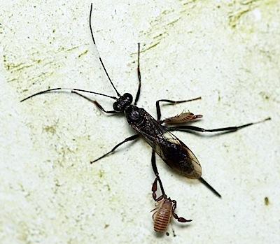 ヒメバチ類の1種に便乗していたトゲヤドリカニムシ
