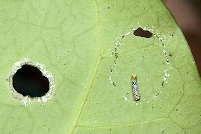 キジョラン上のアサギマダラの幼虫1