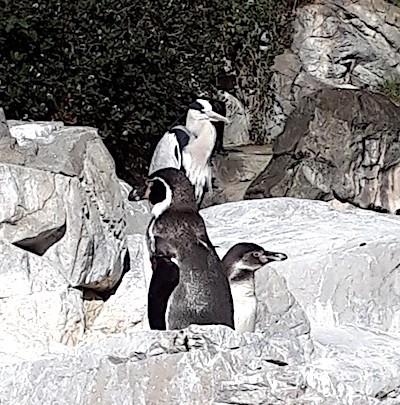 ペンギンのふりをするアオサギ