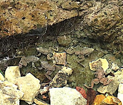 ナガレタゴガエルの雄たち
