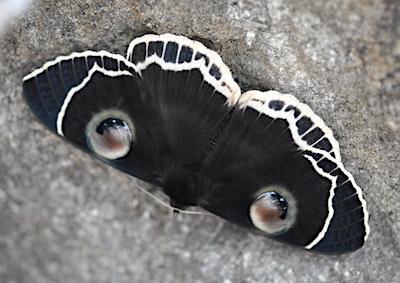 蛾の目玉模様