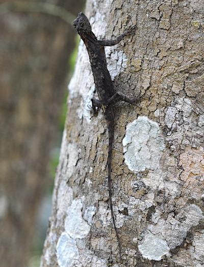トビトカゲの1種