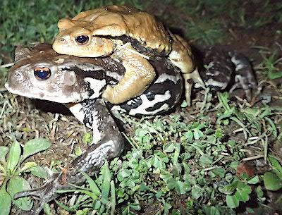 抱接中のヒキガエル