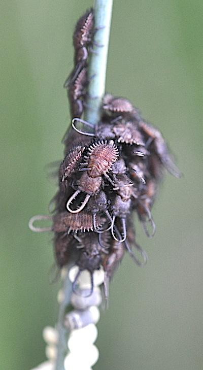 キバネツノトンボの孵化幼虫の集合