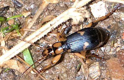 ミイデラゴミムシの成虫(三重産)