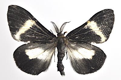 コシロオビドクガのオス