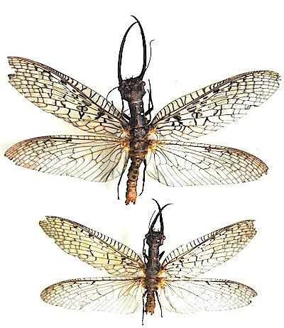 Acanthacorydalis asiatica