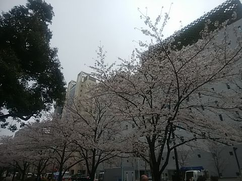 siroyamadoorisakura.jpg