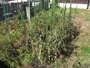 181022トマト畑前