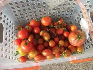 181022最後のトマト収穫
