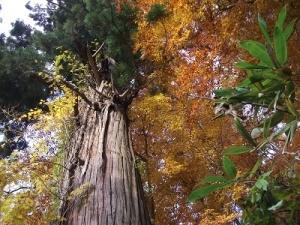 181108観楓台途中の大杉