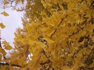 181129イチョウの葉