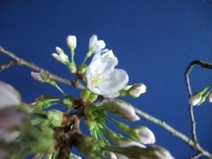 190403開花横から