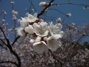 190422桜アップ