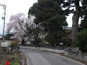 190425迷子桜