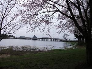 190425鶴の舞橋と桜