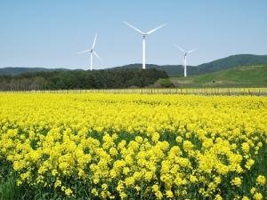 190516菜の花と風車
