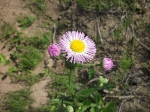 190523草の花