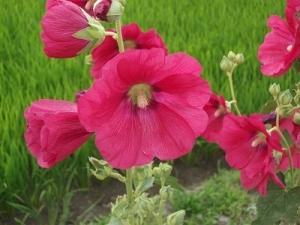 190711赤い花アップ