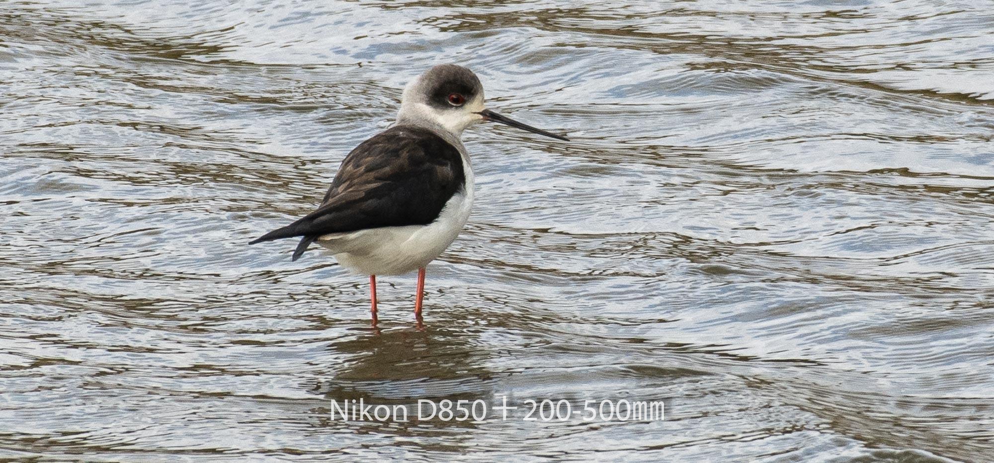 190331 セイタカシギ-01 NIKON D850 ISO 220 500 mm 1627 x 759
