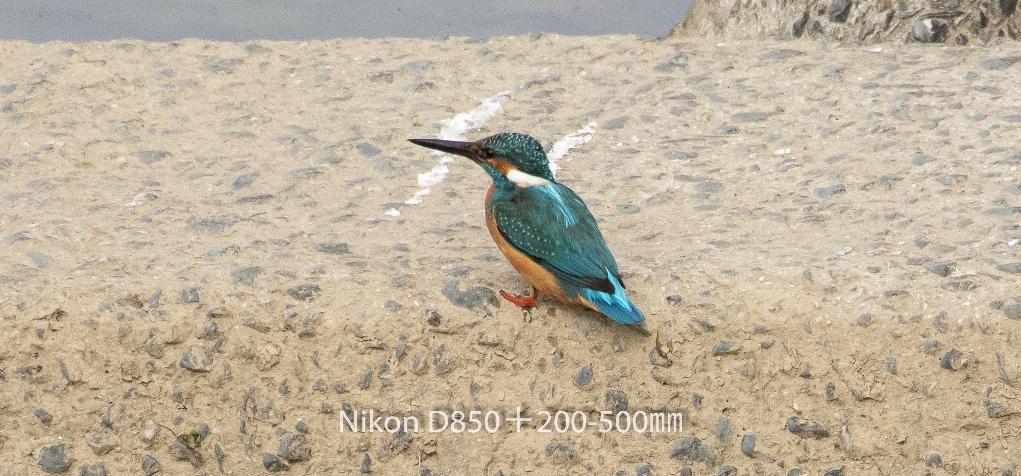 190401 カワセミ-06 NIKON D850 ISO 1000 500 mm 1939 x 905