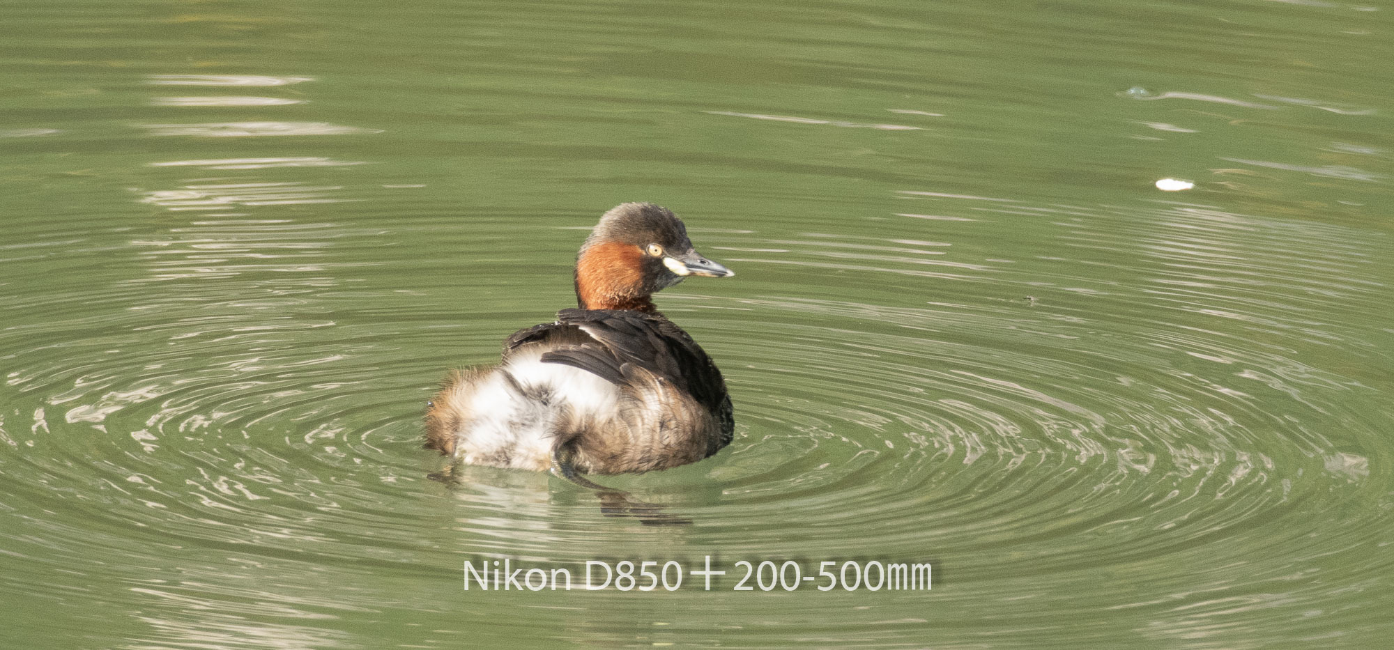 190402 カイツブリ-01 NIKON D850 ISO 1400 500 mm 3004 x 1402