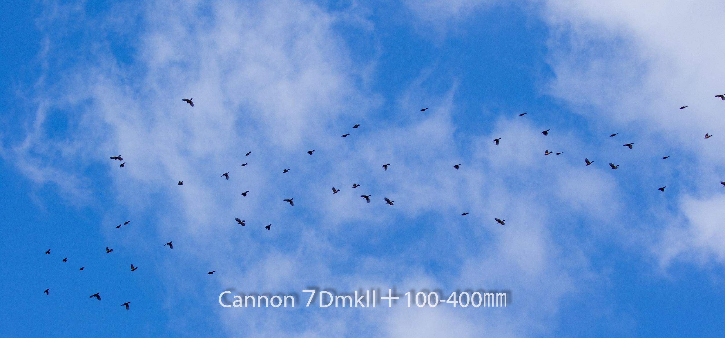 191004 ヒヨドリ集団-04 Canon EOS 7D Mark II ISO 100 100 mm 5472 x 2554