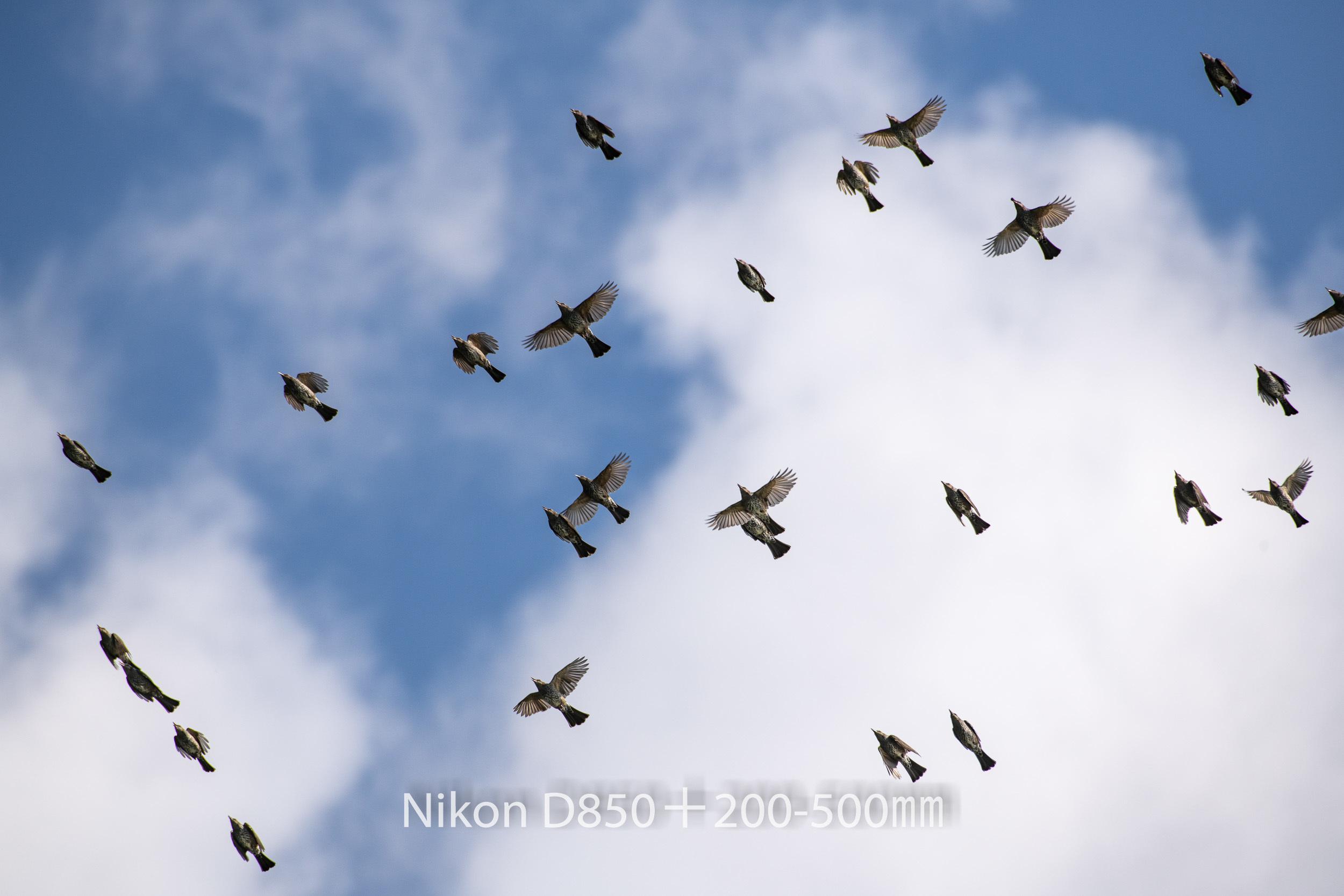 191004 ヒヨドリ集団-08 NIKON D850 ISO 100 500 mm 8256 x 5504