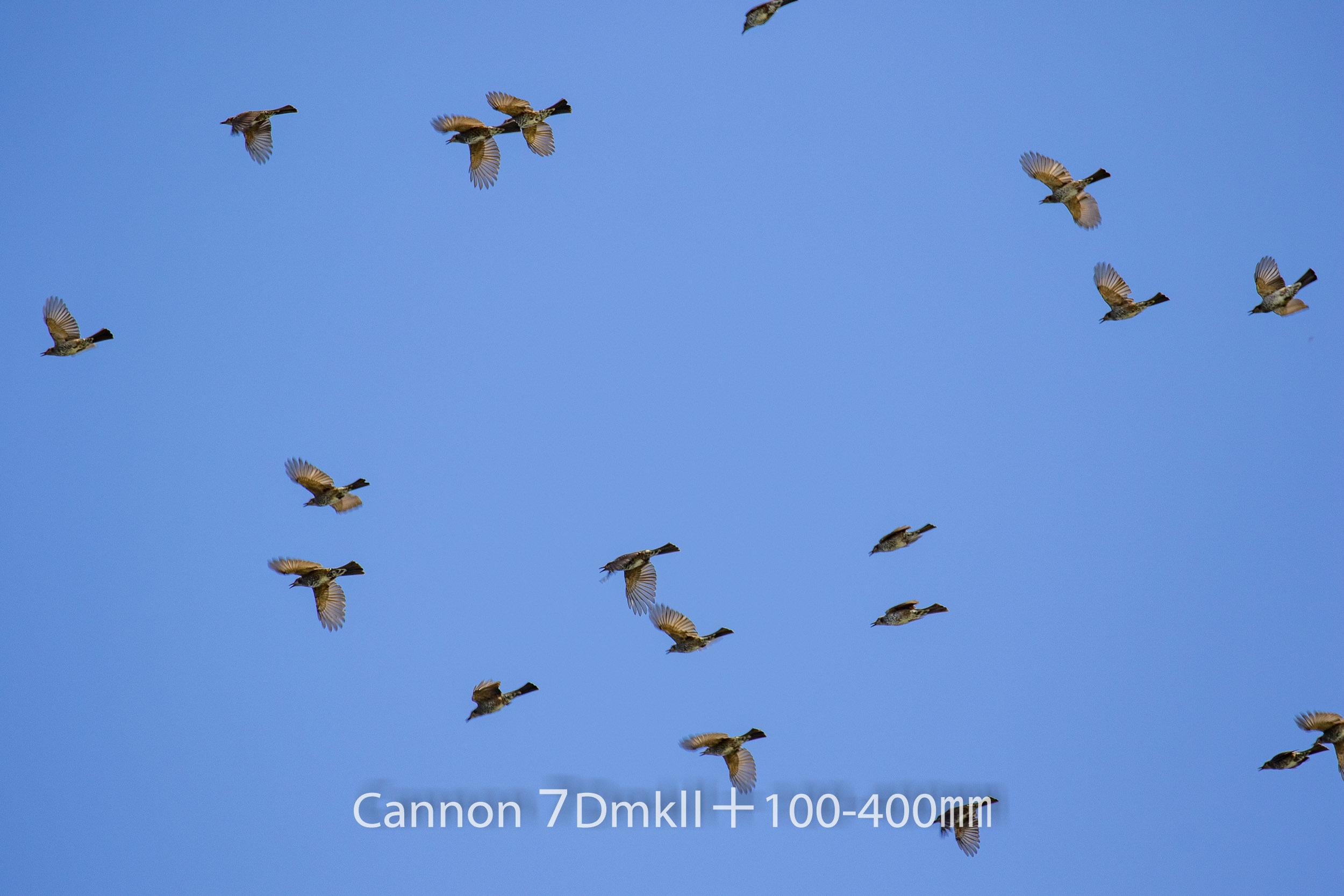 191004 ヒヨドリ集団-02 Canon EOS 7D Mark II ISO 100 400 mm 5472 x 3648