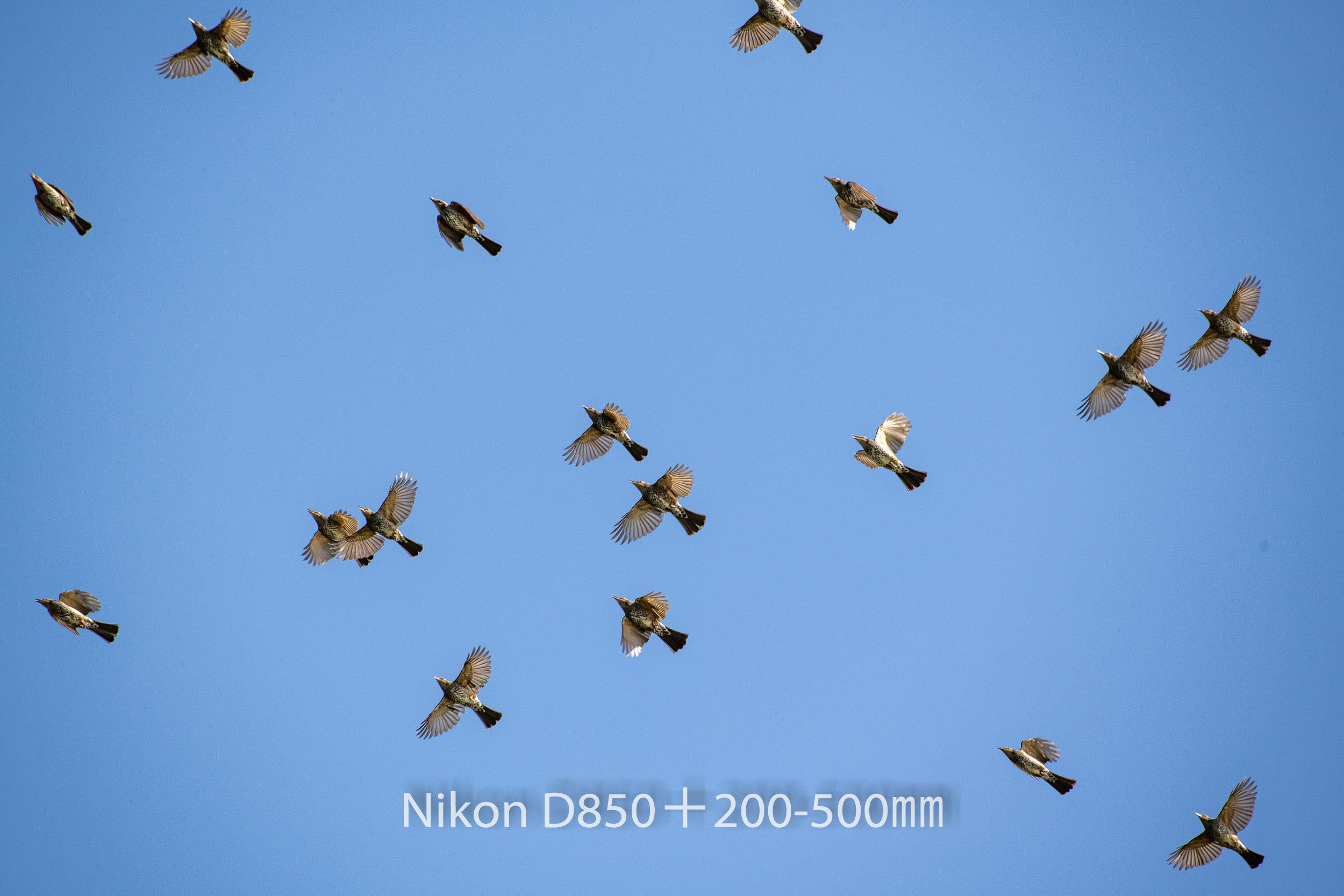 191004 ヒヨドリ集団-09 NIKON D850 ISO 360 500 mm 8256 x 5504