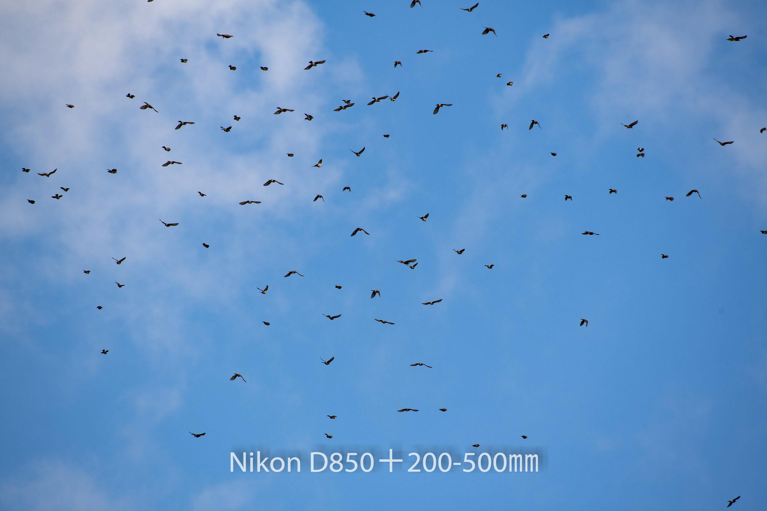 191004 ヒヨドリ集団-13 NIKON D850 ISO 220 500 mm 8256 x 5504