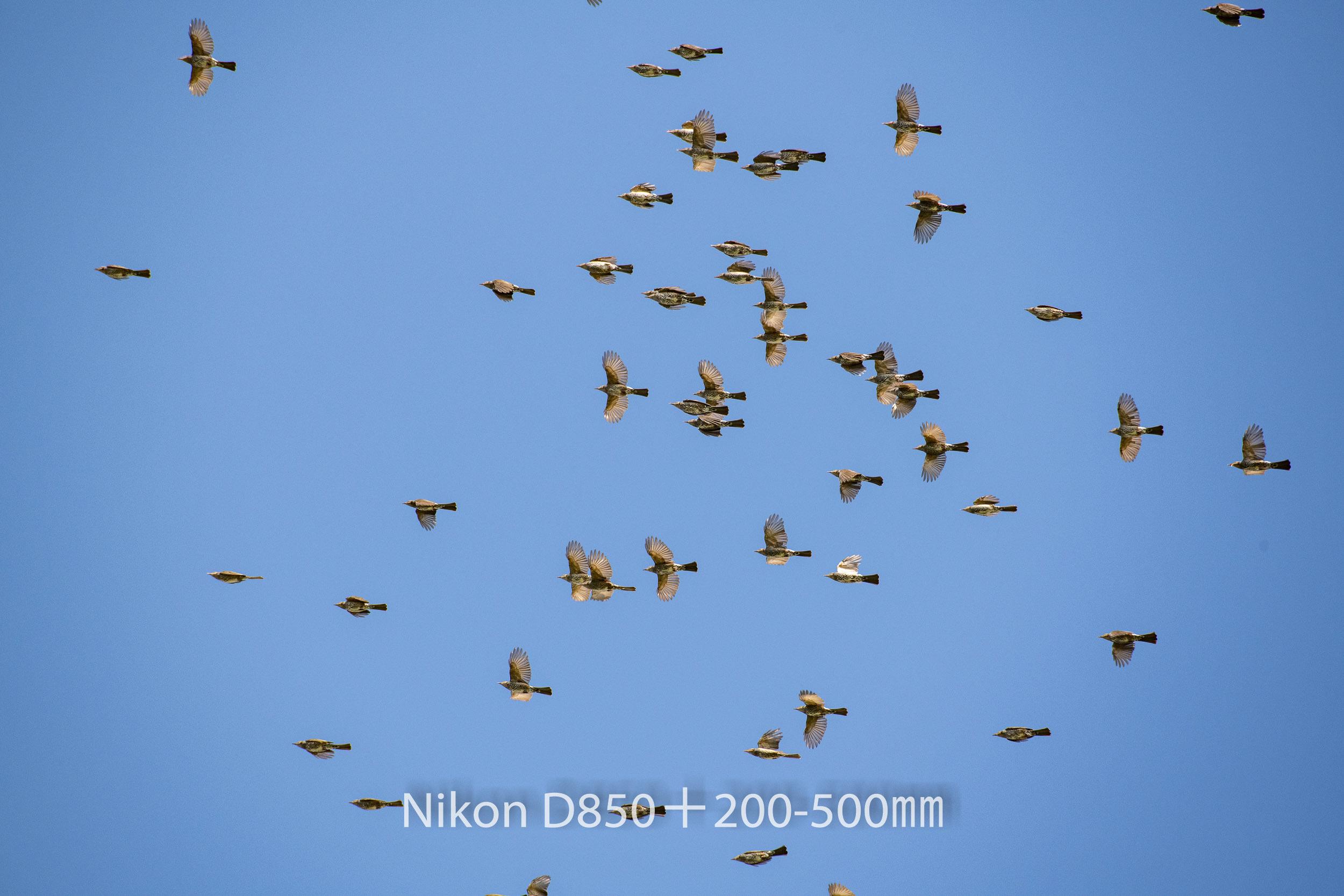 191004 ヒヨドリ集団-16 NIKON D850 ISO 450 500 mm 8256 x 5504