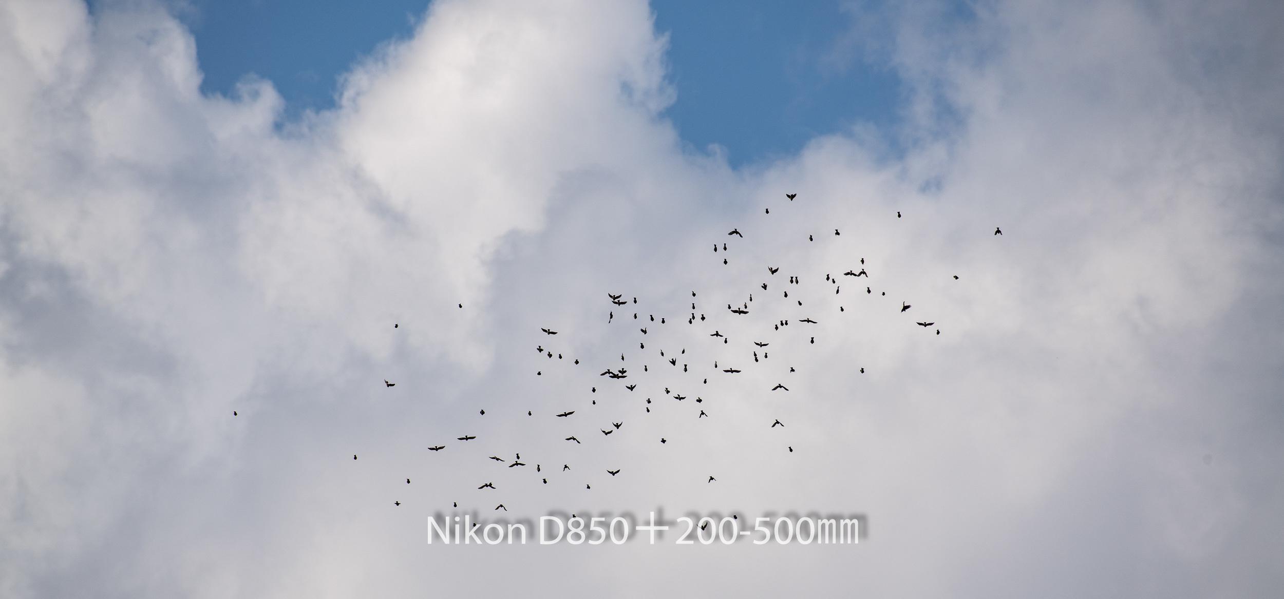 191004 ヒヨドリ集団-19 NIKON D850 ISO 90 500 mm 8256 x 3853
