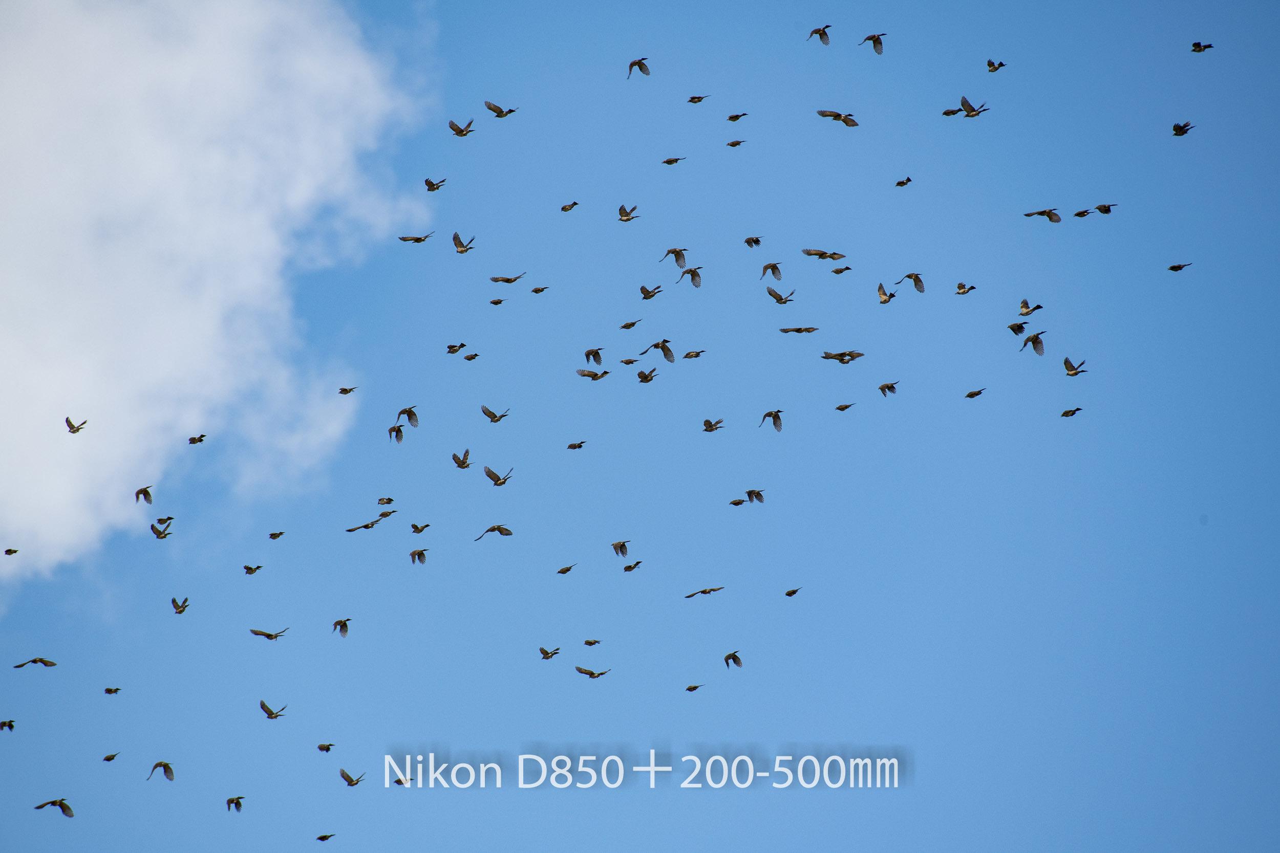 191004 ヒヨドリ集団-24 NIKON D850 ISO 220 500 mm 8256 x 5504