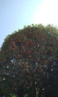 1810 金木犀の咲く頃1