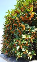 1810 金木犀の咲く頃2