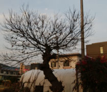190115 枯れ木に