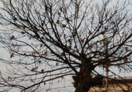 190115 枯れ木に雀