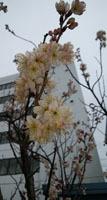 190228 桜a