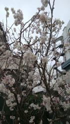 190302 桜満開