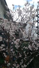 190304 さくらんぼ桜満開です