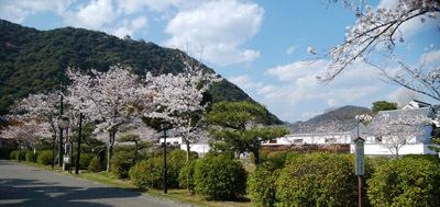 190401 桜・錦帯橋6