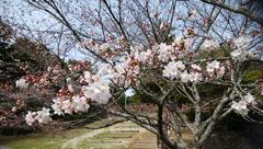 190329 テクテク⑧山頂の桜1