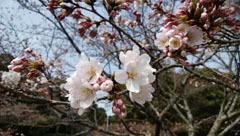 190329 テクテク⑧山頂の桜2