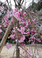 190329 テクテク⑧山頂のしだれ桜1