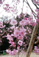 190329 テクテク⑧山頂のしだれ桜2