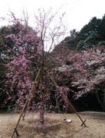 190329 テクテク⑧山頂のしだれ桜