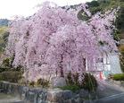 190402 永興寺枝垂れ桜