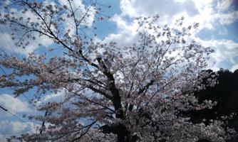 190402 紅葉谷の桜